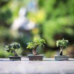 Le bonsaï ficus : comment le choisir et l'entretenir ?